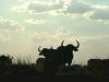 026-namushasha-buffalo