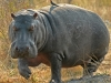 namibia-country-lodges-hippo-pic-4