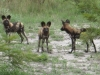 namibia-country-lodges-wild-dog-pic-1