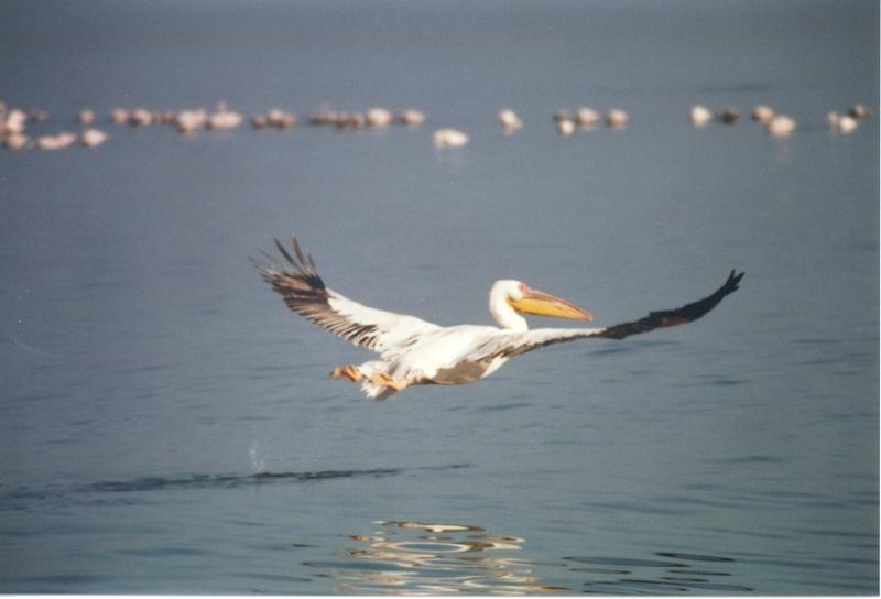 pelican-flying