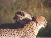 cheetah-couple