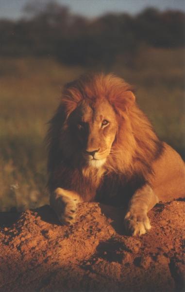 lion-22