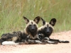 african_wild_dogs2