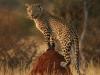 2b8_erindi_leopard