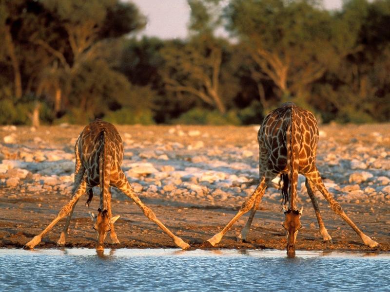 world_africa_thirsty_giraffes___etosha_national_park___namibia___africa_008891_