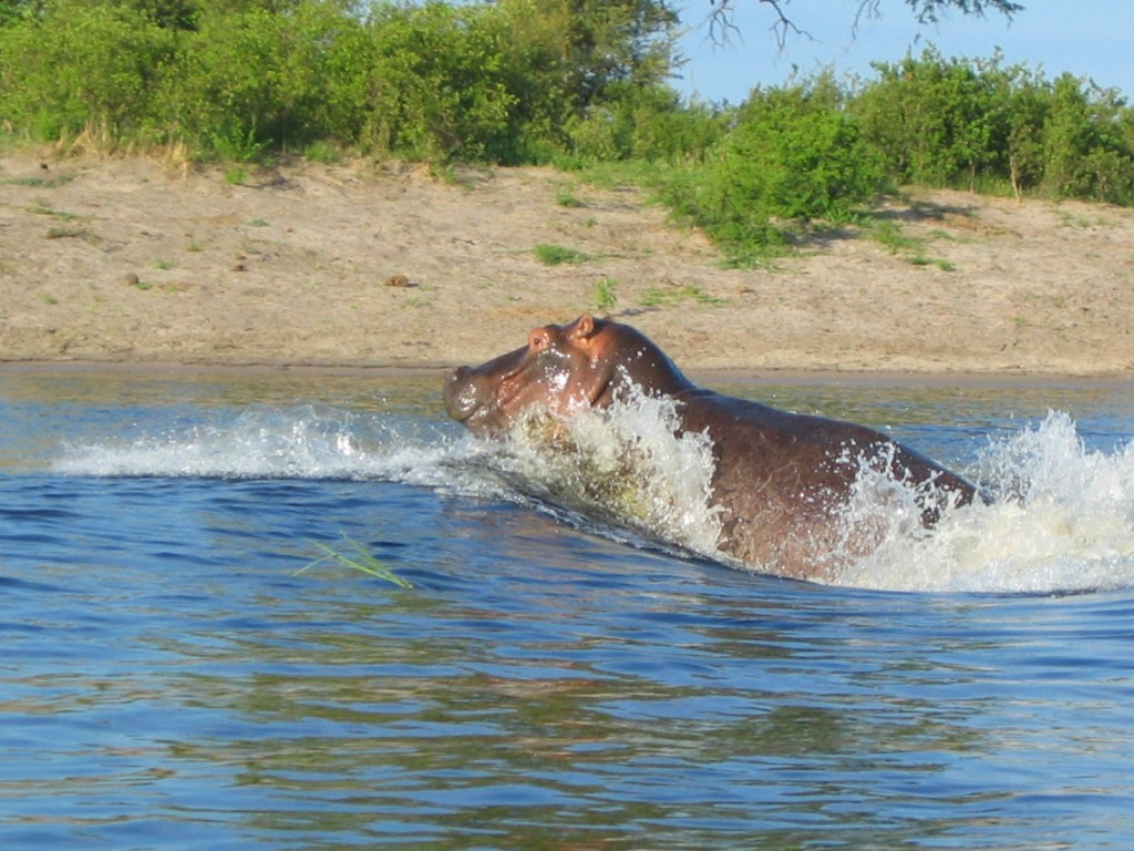 Hippo at Caprivi