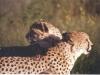 cheetah-couple