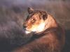 lioness-01